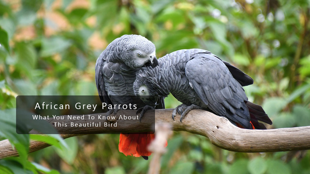 Learn All The Secrets Of The African Grey Parrot