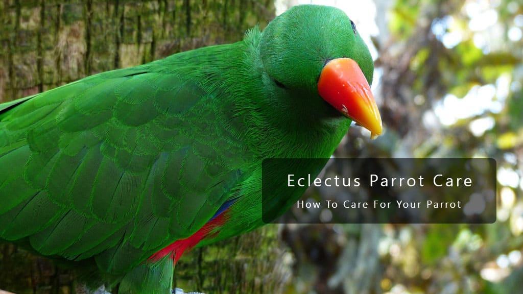 Eclectus Parrot Care