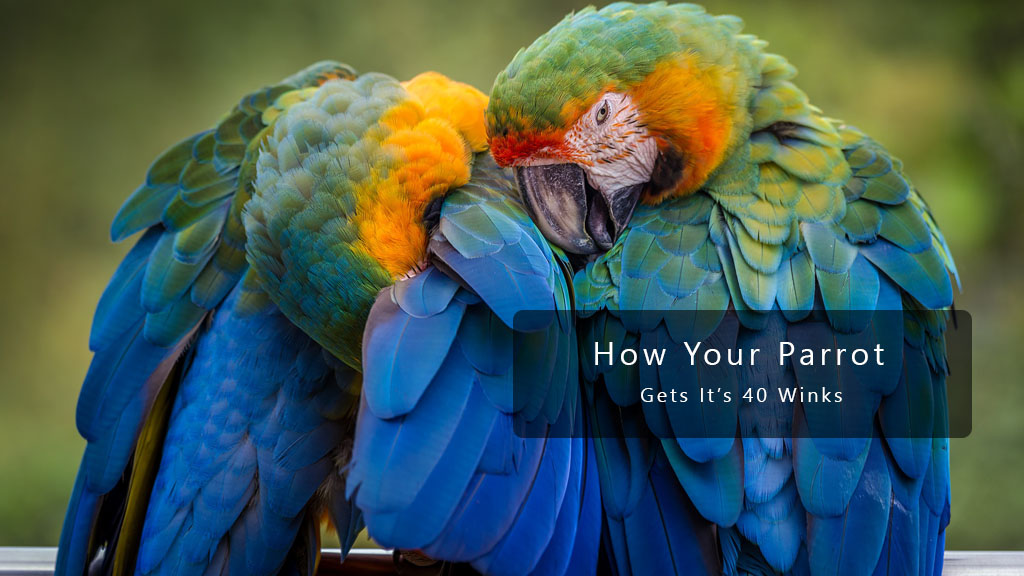 How Your Pet Parrot Gets Its Forty Winks