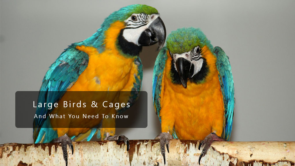 Large Birds And Cages – What You Need To Know