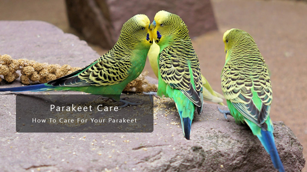 Parakeet Care And What You Need To Know